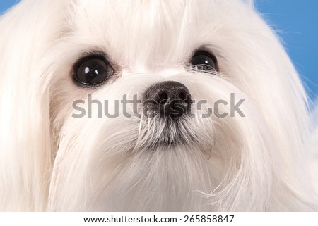 Portrait of a white dog of breed the Maltese close up on which eyes and a nose and structure of wool on a blue background are visible.. - stock photo