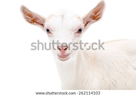 Portrait of a white goat, close-up, isolated on white background - stock photo