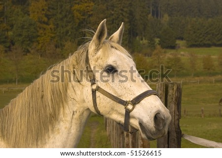 Portrait of a white horse on a background of pastures. - stock photo