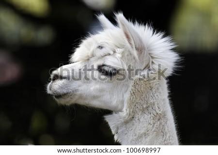 portrait of a white llama - stock photo