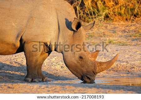 Portrait of a white rhinoceros (Ceratotherium simum) drinking water, South Africa - stock photo