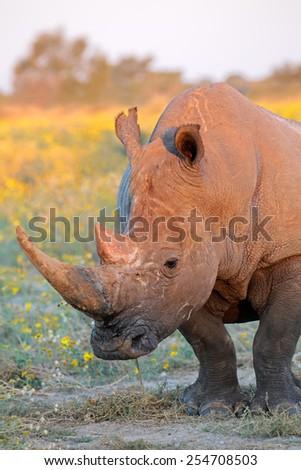 Portrait of a white rhinoceros (Ceratotherium simum) in natural habitat, South Africa - stock photo