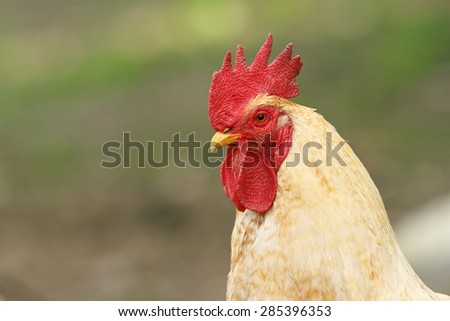 portrait of a white rooster over green out of focus background - stock photo