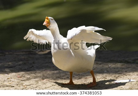 Portrait of a white wild goose. The goose spread its wings on the shores of lake.  - stock photo