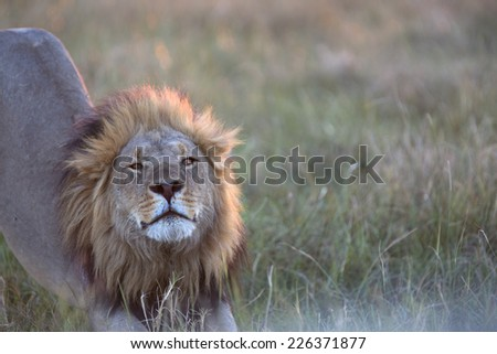 Portrait of a wild african lion - stock photo