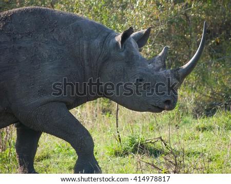 Portrait of a wild black rhinoceros or hook-lipped rhinoceros  surrounded by grass(Diceros Bicornis) in Masai Mara Kenya - stock photo