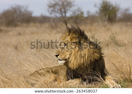 portrait of a wild male lion in the bush, Kruger, South Africa - stock photo