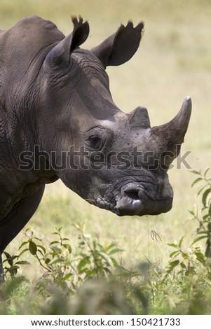 Portrait of a wild white rhinoceros - stock photo