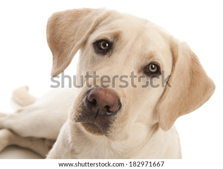 Portrait of a yellow lab puppy.  Isolated on white. - stock photo