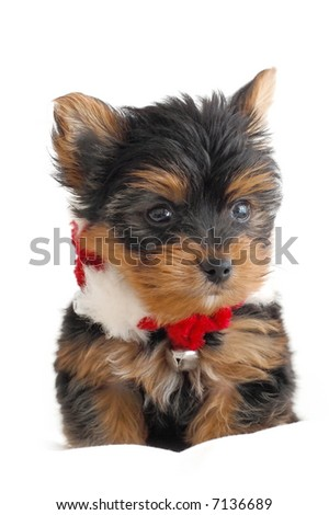 Portrait of a Yorkshire Terrier with a Christmas necklace - stock photo