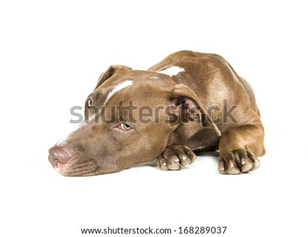 Portrait of a young Pitt Bull and Labrador Retriever mix lying down isolated on white. - stock photo