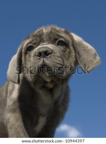 """portrait of a young puppy purebred italian mastiff """"cane corso"""" - stock photo"""