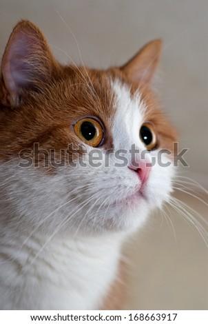 Portrait of a young red cat/Portrait of cat/Portrait of cat - stock photo
