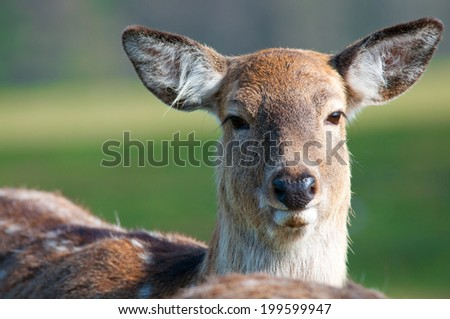 portrait of a young red deer - stock photo