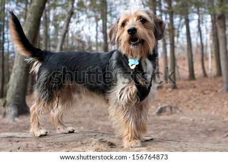 Portrait of a young yorkshire terrier beagle mix dog in the woods / dog park. Shallow depth of field. - stock photo