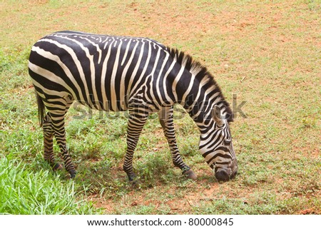 portrait of a young zebra eating grass in the field - stock photo