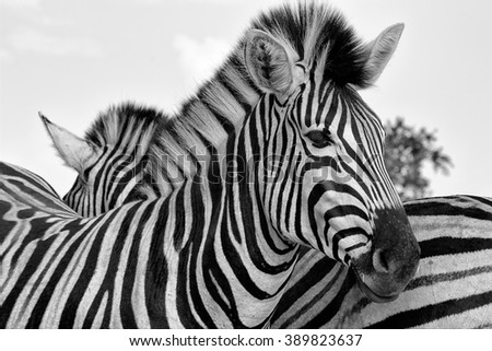 portrait of a zebra at the kruger national park south africa - stock photo
