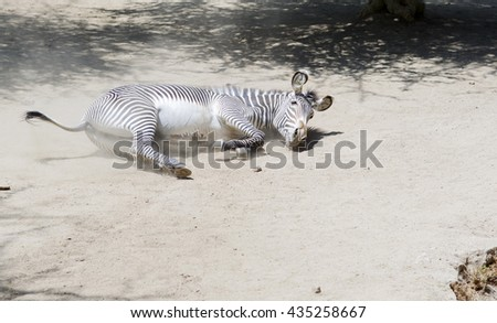 Portrait of a Zebra in full growth. The horse in the wild. Zebra lying on the ground.   - stock photo