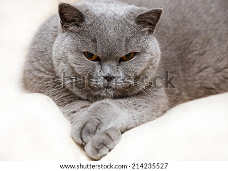Portrait of adorable purebred british cat - stock photo
