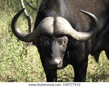 Portrait of African Buffalo - stock photo