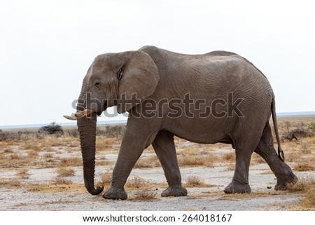 Portrait of african elephants, Etosha national Park, Ombika, Kunene, Namibia. True wildlife photography - stock photo