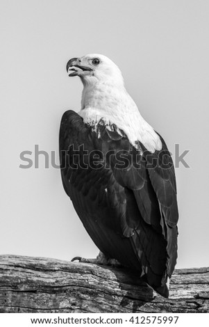 Portrait of African fish eagle perched on branch - stock photo