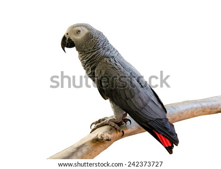 Portrait of African Gray Parrot isolate on white background. - stock photo