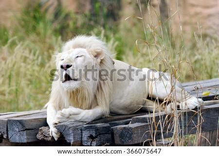 Portrait of albino lion. - stock photo