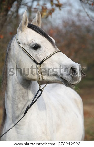 Portrait of amazing arabian horse with show halter in autumn - stock photo