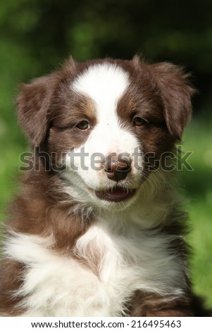 Portrait of amazing australian shepherd puppy which is sitting in the grass - stock photo