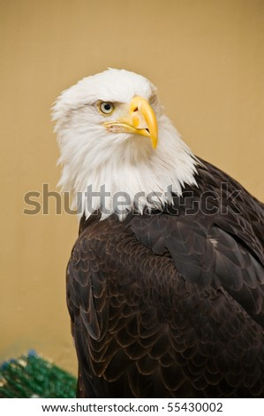 Portrait of american Bald Eagle - stock photo