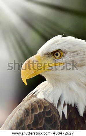 portrait of American sea eagle in the natural park - stock photo