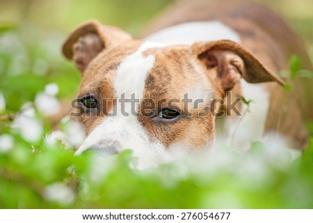 Portrait of american staffordshire terrier lying in flowers - stock photo
