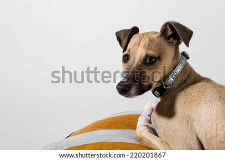 Portrait of an adorable italian greyhound puppy - stock photo