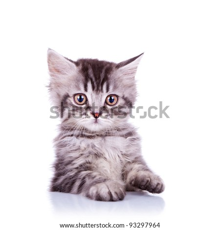 portrait of an adorable silver tabby cat on white background - stock photo