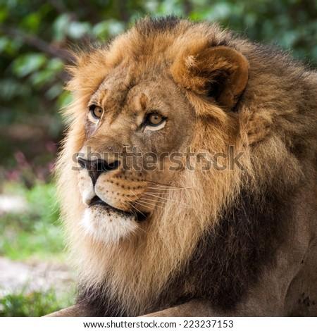 Portrait of an adult lion - stock photo