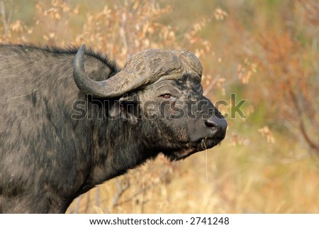 Portrait of an African buffalo (Syncerus caffer) , Kruger National Park, South Africa	 - stock photo