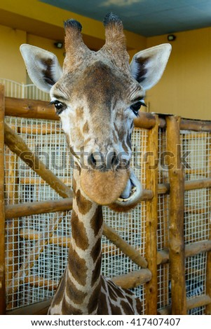 portrait of an African giraffe exotic animals in zoo - stock photo