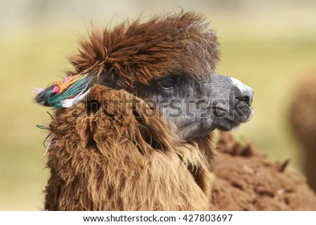 Portrait of an alpaca (Lama pacos) on a wetland in Lauca National Park, northern Chile. - stock photo