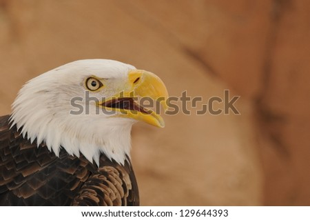Portrait of an American Bald Eagle (Haliaeetus leucocephalus) with enough copy space for your text on the natural blur background - stock photo