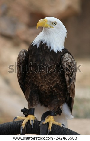 Portrait of an American Bald Eagle, symbol of freedom of the USA. - stock photo