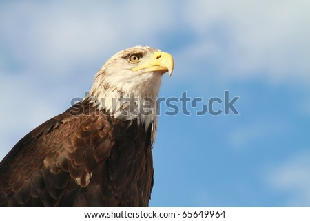 Portrait of an Bald Eagle (Haliaeetus leucocephalus), symbol of the United States of America. - stock photo