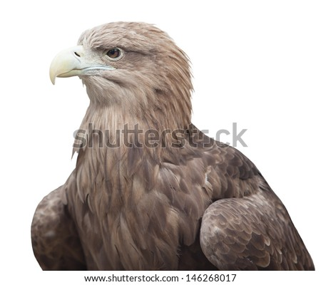 portrait of an eagle is isolated. over white background - stock photo