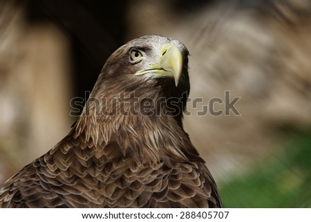Portrait of an eagle with a proud and stern look - stock photo