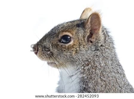Portrait of an Eastern gray squirrel in winter  - stock photo
