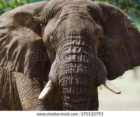Portrait of an elephant. Close-up. Africa. Kenya. Tanzania. Serengeti. Maasai Mara. An excellent illustration. - stock photo