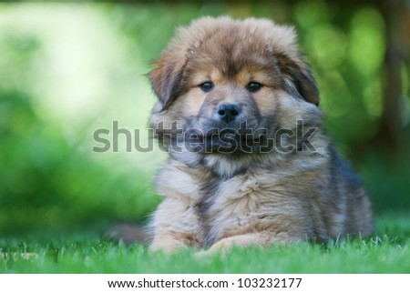 portrait of an Elo puppy lying on the grass - stock photo