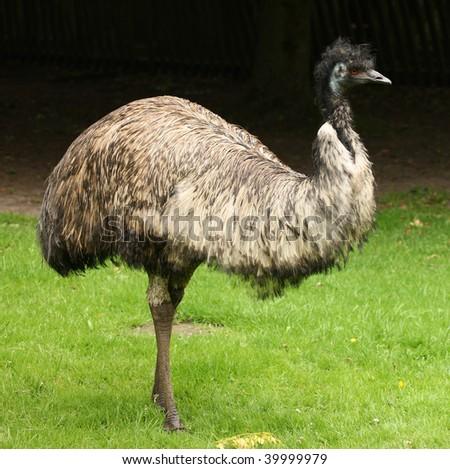 Portrait of an Emu - stock photo