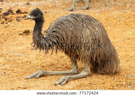 Portrait of an Emu in Australia - stock photo