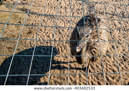 Portrait of an Emu in Germany - stock photo